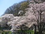 2009h21-0410-sakura-fumonji-1.jpg