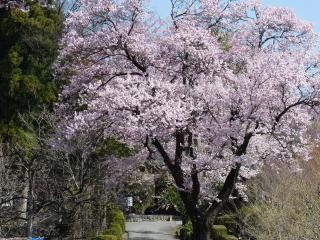 2012h240412hokoji-sakura-1.jpg
