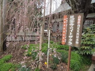 itozakura2015h270329_2.jpg