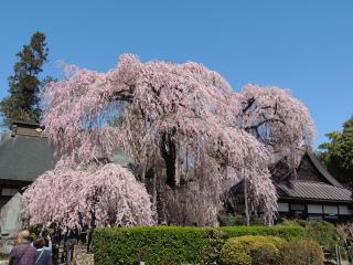 itozakura2015h270402_1.jpg