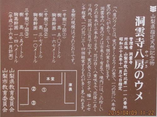 sigemori1洞雲寺ヤツブサの梅.jpg