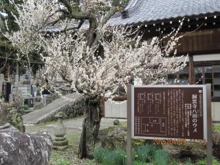 sigemori5洞雲寺ヤツブサの梅.jpg