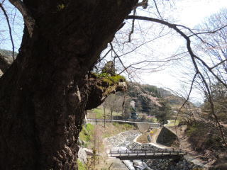 tennouzakura2015h270416-5.jpg