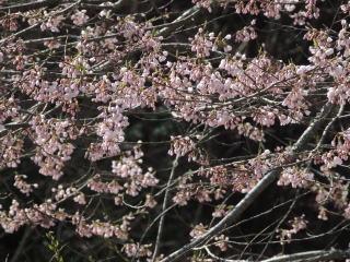 tennouzakura2015h270416-6.jpg