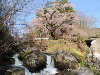 tennouzakura2015h270416-7.jpg