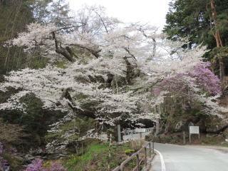 tenouzakura2016h280421-1.jpg