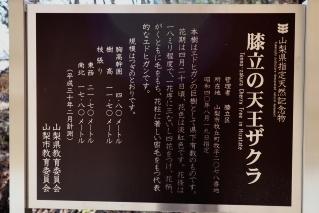 tennouzakura2019h310416-3.jpg
