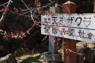 tennouzakura2019h310416-5.jpg