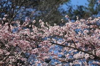 tennouzakura2019h310416-6.jpg